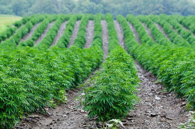 サステイナブル サステイナブル農法 持続可能 CBDオイル