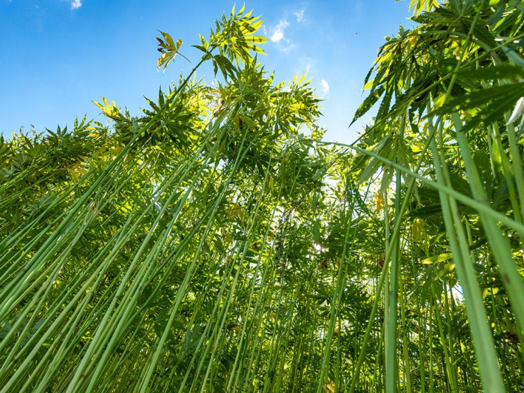 ヘンプ CBDオイル エコな植物